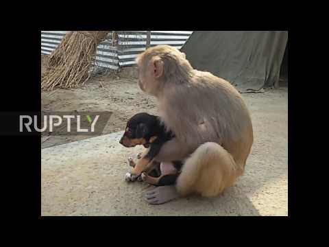 India: Monkey adopts adorable stray puppy
