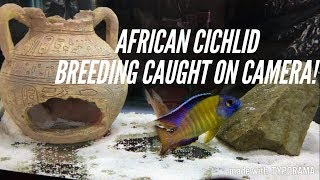 African Cichlids Breeding | The 3 Stages | Caught In The Act!