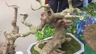 LẠI THÊM MỘT CÂY TRE BONSAI TUYỆT ĐẸP NỮA - BAMBOO TREE BONSAI
