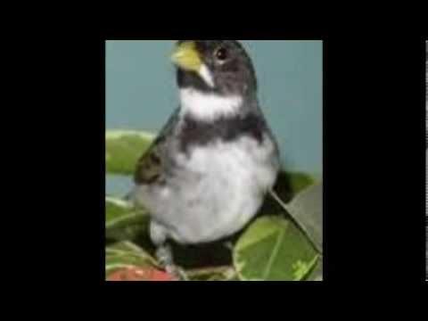 Baixar Toque para Celular -Viola e Canto de Pássaros-Toninho Santos Zezé