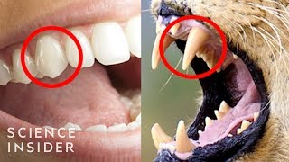 The Real Reason Humans Have Those Sharp Front Teeth