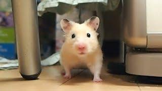 届かなくてプルプルするハムスターの短い足!おもしろ可愛いハムスターA short funny hamster's leg feet that tremble without reaching!