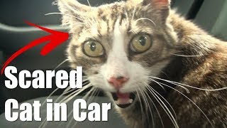 Epic Scared Cat in Car - CRAZY CATS #9