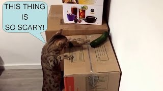 Funny Cats vs Cucumbers Compilation