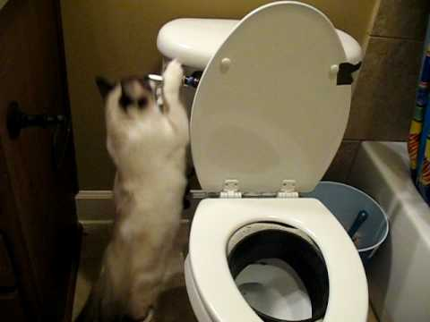 Video 5 How To Toilet Train Your Cat Starring Cocobean