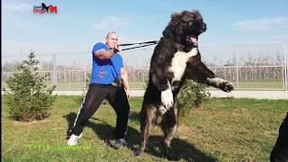 Jozo DOGS - ZAFIR 11 months old. TELEFON  +491743552582  /  +385989920061