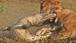 TOP CROCODILE VS BIG CAT MOMENTS || Crocodile VS Tiger, Lion, Cheetah, Leopard