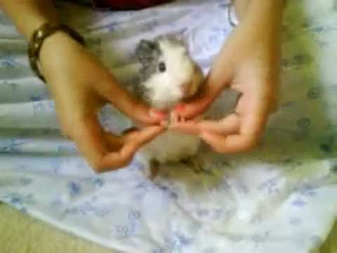 Dancing baby guinea pig - YouTube