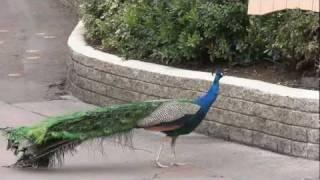 Brief Tour of San Diego Zoo