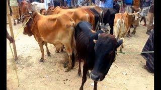834| মাত্র ১৫ হাজার টাকায় ষাঁড় গরু কিনুন|Cow-Calves market price in Bangladesh|Cow & Cow videos