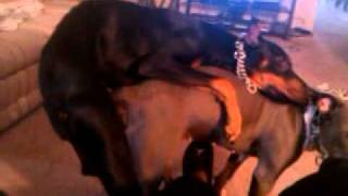 Doberman gets stuck in Pitbull......Doggy Sex......