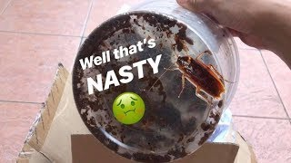 Unboxing a BUNCH of COCKROACHES !!! (Gone NASTY)