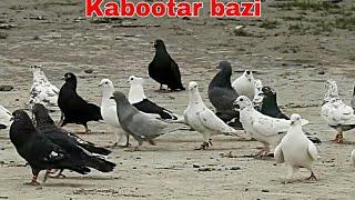 Kabootar bazi me easy chance miss hua || حمام کبوتر الحمام