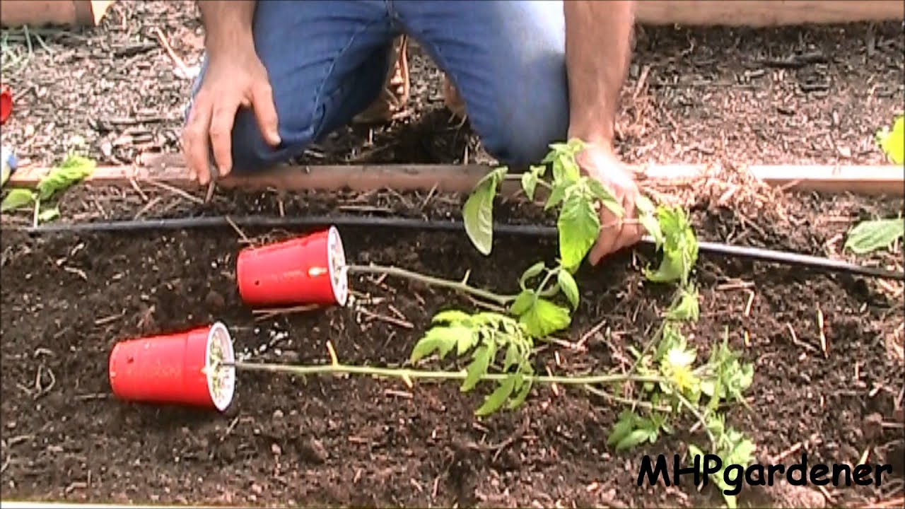 how to plant tomato plants in the ground