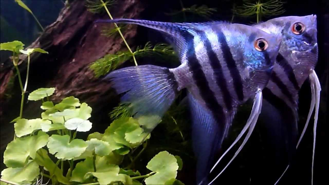 Blue Zebra Angelfish + mates - YouTube