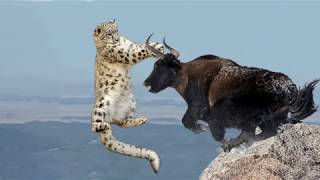 Amazing Mother Wild Yak Save Her Baby From Snow Leopard Hunting | Wolf vs Bison