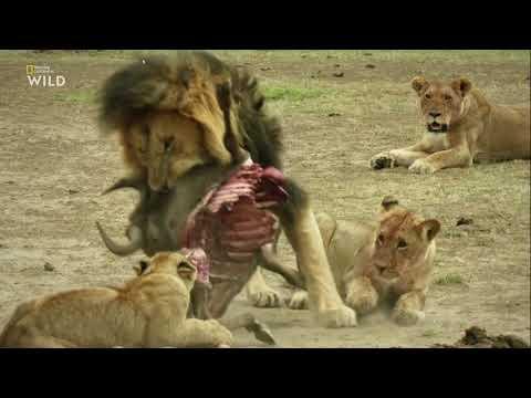 Nat Geo Wild: Дикие охотники 1 серия - Кошки 2019