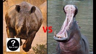 Hà mã vs Tê giác, con nào sẽ thắng #29 || Bạn Có Biết?