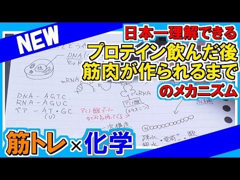 日本一理解できるプロテイン~筋肉合成【タンパク質・プロテイン・アミノ酸・BCAA】