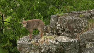 The good life for wild mountain goats in the Himalaya: wildfilmsindia forest
