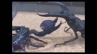 Kumbang Raksasa Sumatera vs Kalajengking