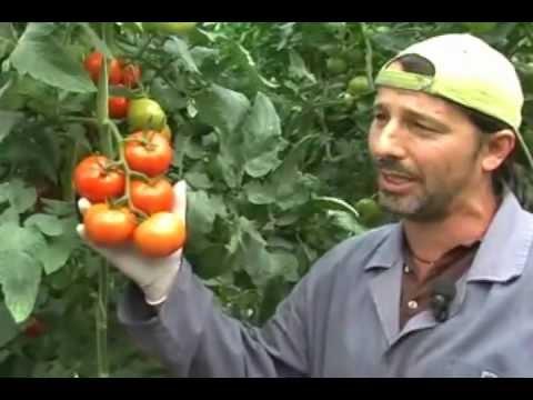 Come innestare le piantine di pomodoro innesti di variet - Colture idroponiche in casa ...