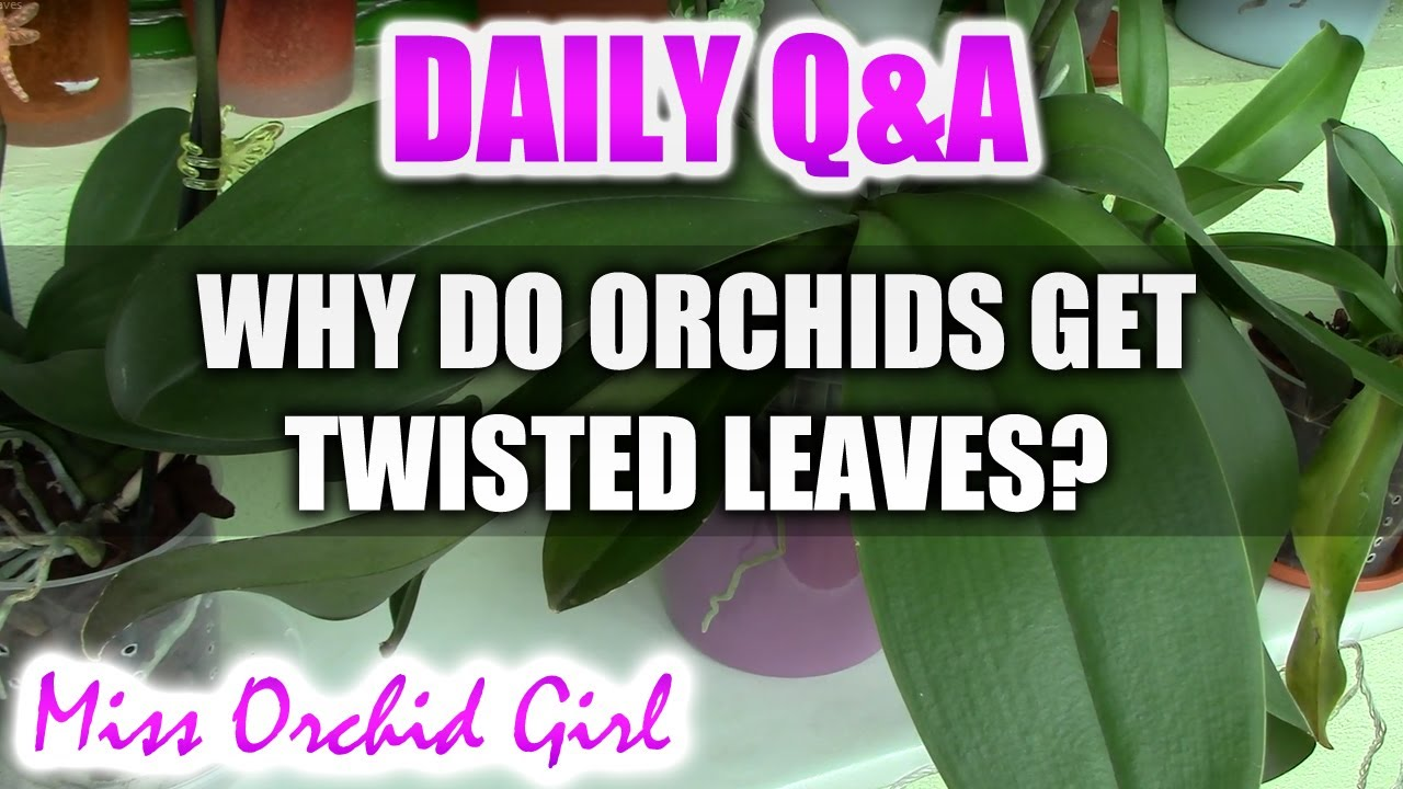 Q Amp A Why Do Phalaenopsis Orchids Get Twisted Leaves