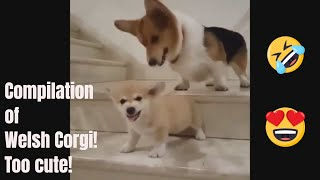 CUTE DOG l Corgis are the best 2018