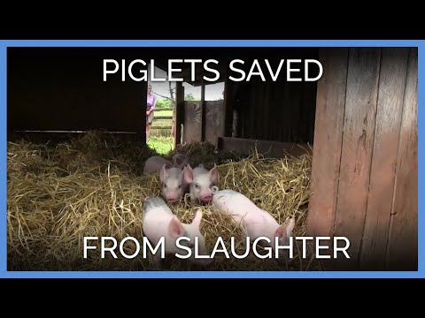 Piglets Saved From Slaughter! | PETA's Rescue Team