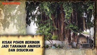 Kisah Pohon Beringin Jadi Tanaman Angker dan Disucikan