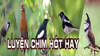 ✅Luyện Chim Hót Hay Kích Thích Căng Lửa (Bao kích tất cả các loại chim hót)