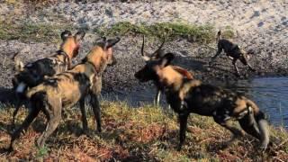 Wild Dog & Spotted Hyaena hunt pandemonium - Mombo, Okavango Delta