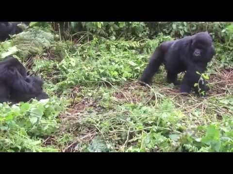 Gorilla Family at Volcanoes National Park, Rwanda