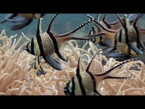 """Cardinalfishes & trumpetfish. Part 6 of my documentary, """"Mucky Secrets"""", about the fascinating marine creatures of the Lembeh Strait in Indonesia.  In this video I first take a look at the Banggai cardinalfish, Pterapogon kauderni. This is an invasive species which was introduced to the Lembeh Strait in the year 2000, and now competes with anemonefish for territory. Although it appears to be thriving in the Lembeh Strait and a few other locations, the Banggai cardinalfish is nonetheless still an endangered species because of its popularity in the ornamental fish trade.  We then encounter other species of cardinalfish (Apogonidae) in the area, Moluccan cardinalfish, Ostorhinchus moluccensis, the orbiculate cardinalfish, Sphaeramia orbicularis, and the frostfin cardinalfish, Ostorhinchus hoevenii, sheltering in the spines of sea urchins.  Finally we witness a trumpetfish, Aulostomus chinensis, preying on a small group of frostfin cardinalfish. The trumpetfish's slim profile and stealth allow it to creep up very slowly on the unsuspecting cardinalfish, before making its attack. The trumpetfish sucks in the cardinalfish in a method known as """"pipette feeding"""".  There are English captions showing either the full narration or the common and scientific names of the marine life, along with the dive site names.  """"Mucky Secrets"""" is being serialised weekly on YouTube. Please subscribe to my channel to receive notifications of new episodes as I release them. The series will feature a huge diversity of weird and wonderful marine animals including frogfish, nudibranchs, scorpionfish, crabs, shrimps, moray eels, seahorses, octopus, cuttlefish etc..  Thanks to Lahniz (https://soundcloud.com/lahniz) for the music track, """"Blade Walker"""" and to Kevin McLeod of http://www.incompetech.com for the tracks, """"Hitman"""" and """"Sneak 'n Get Caught"""". These tracks are licensed under a Creative Commons Attribution 3.0 Unported license.  Thanks to the staff and keen-eyed divemasters of Two Fish Divers """