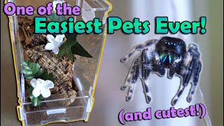 How to Care for Jumping Spiders!