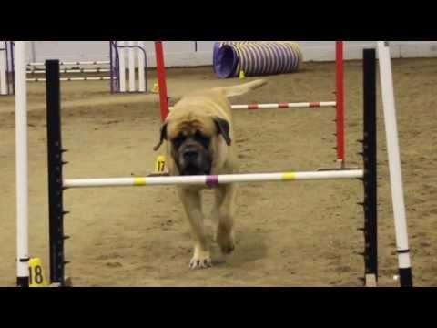 Mastiff Competing At Dog Agility