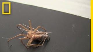 بالفيديو.. عنكبوت يربط أرجل أنثى ليتزوجها ثم يهرب قبل أن تقتله