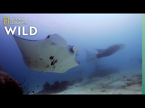 The Social Lives of Manta Rays