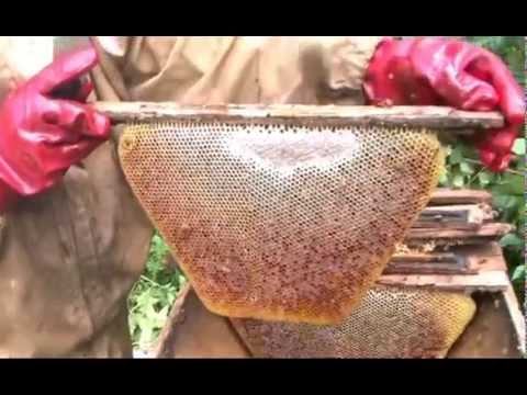 Bees and Trees Project in Nkor, Cameroon - Harvesting Honey