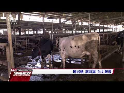 金門牛隻確診「牛結節疹」 創全國首例 20200710 公視晚間新聞