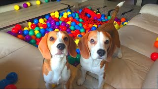 Beagle Puppy gets Ball Pit *SURPRISE* : Funny Dogs Louie and Marie