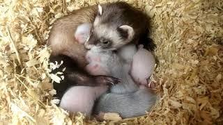 Basic Ferret Breeding. From day 1 to week 8