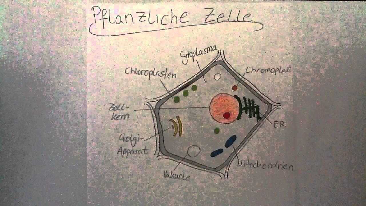aufbau einer pflanzlichen zelle biologie aufgaben youtube. Black Bedroom Furniture Sets. Home Design Ideas