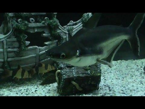 Albino red tail shark - photo#49