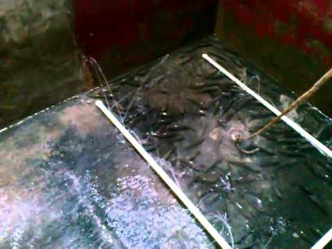 Criadero o crianza de tilapia o mojarra en un estanque for Criadero de carpas