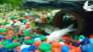 Sleep Music | Piano | Fish Aquarium | Cory & Zebra Fish