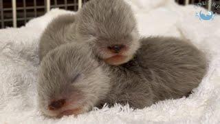 カワウソの赤ちゃん、早すぎる成長っぷり!【生後1週間】 Otter baby! They grow very fast! 【Week 1】