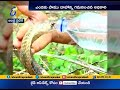 A person feeding drinking water to King Cobra- Viral Video