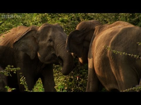 Mother Fights For Baby Elephant - Sri Lanka: Elephant Island Preview - Natural World - BBC Two - Smashpipe Entertainment