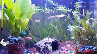 Sleep Music | Aquarium Fish | Zebra Danios | Corydoras